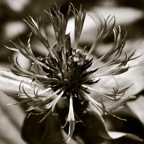 Centaurée et bourdon